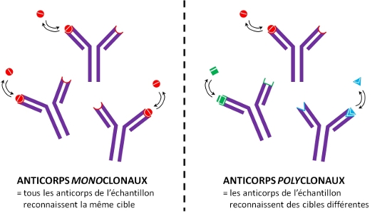 Fig. 4 : Anticorps monoclonaux -  Anticorps polyclonaux