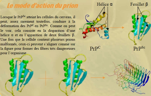Fig. 4 : Le mode d'action du prion